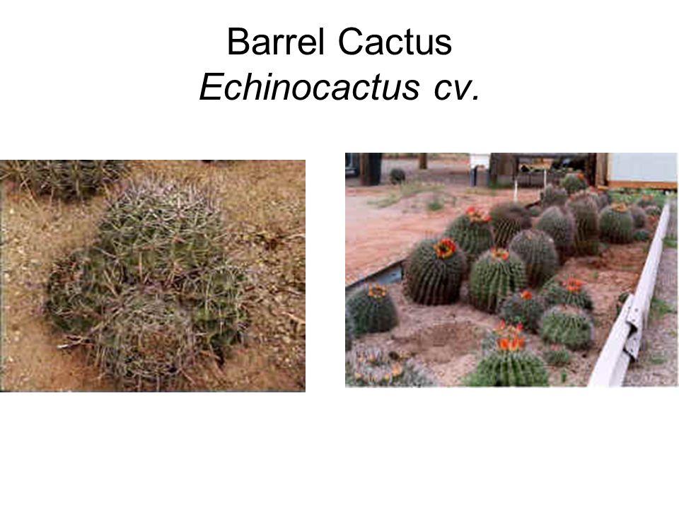 Barrel Cactus Echinocactus cv.