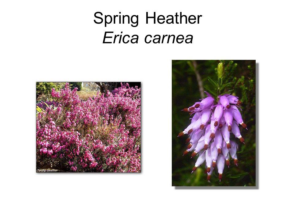 Spring Heather Erica carnea