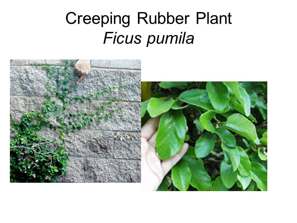 Creeping Rubber Plant Ficus pumila
