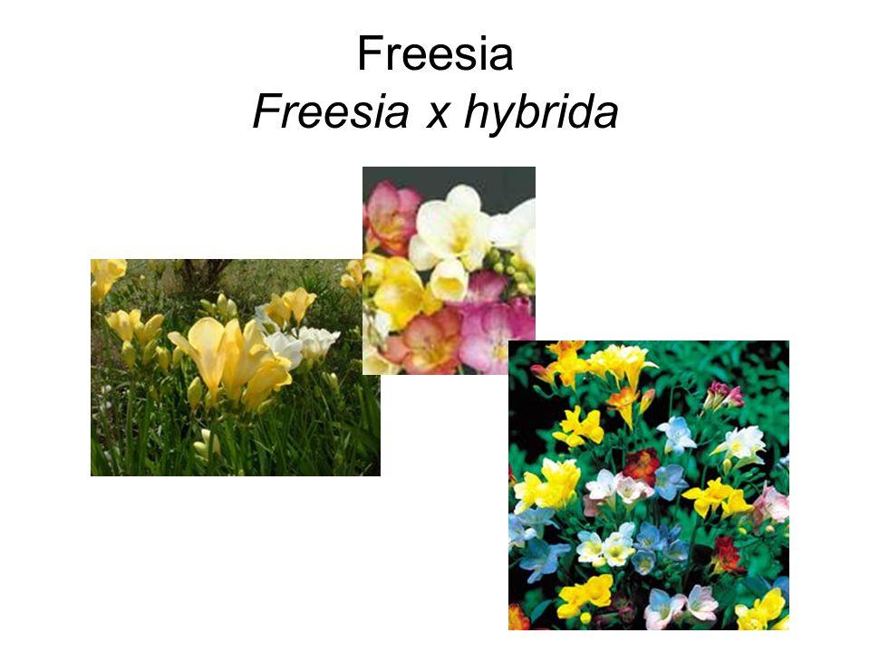 Freesia Freesia x hybrida