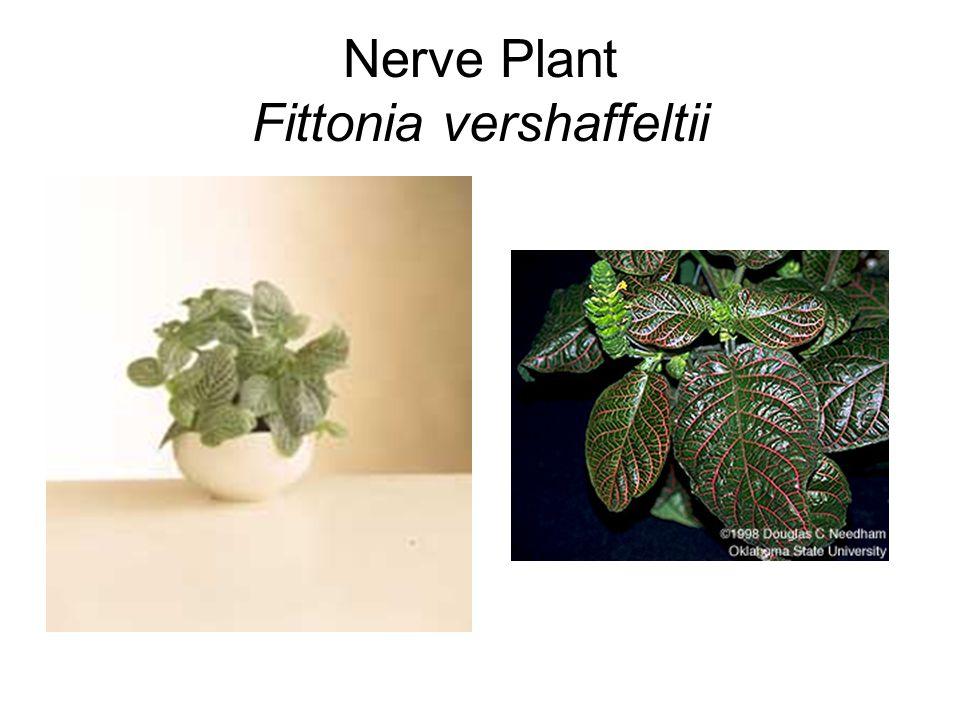 Nerve Plant Fittonia vershaffeltii