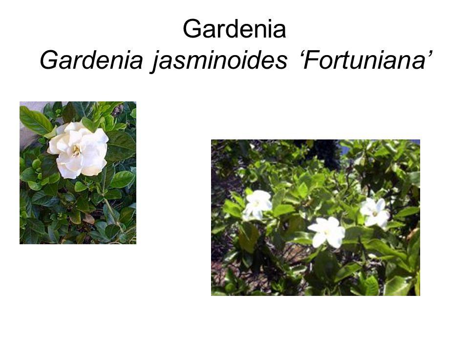 Gardenia Gardenia jasminoides 'Fortuniana'