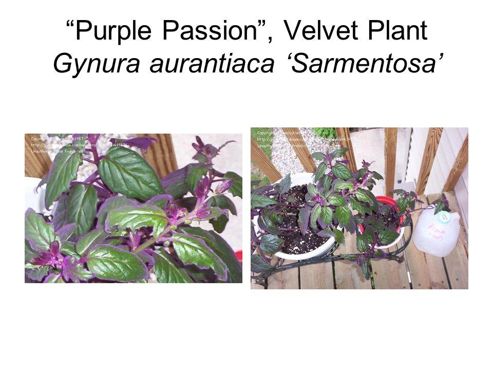 """Purple Passion"", Velvet Plant Gynura aurantiaca 'Sarmentosa'"
