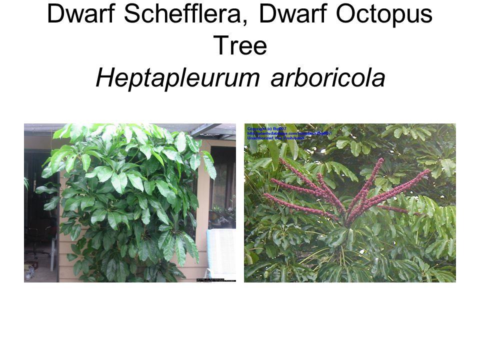 Dwarf Schefflera, Dwarf Octopus Tree Heptapleurum arboricola