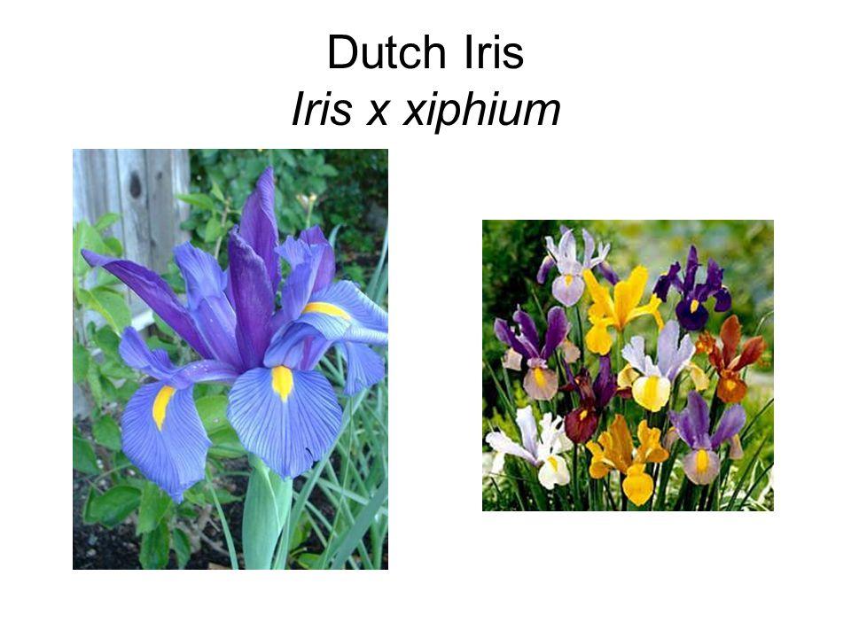 Dutch Iris Iris x xiphium