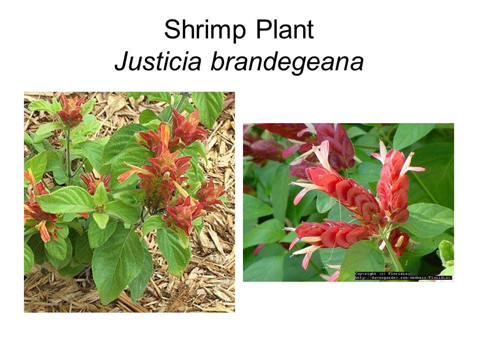 Shrimp Plant Justicia brandegeana