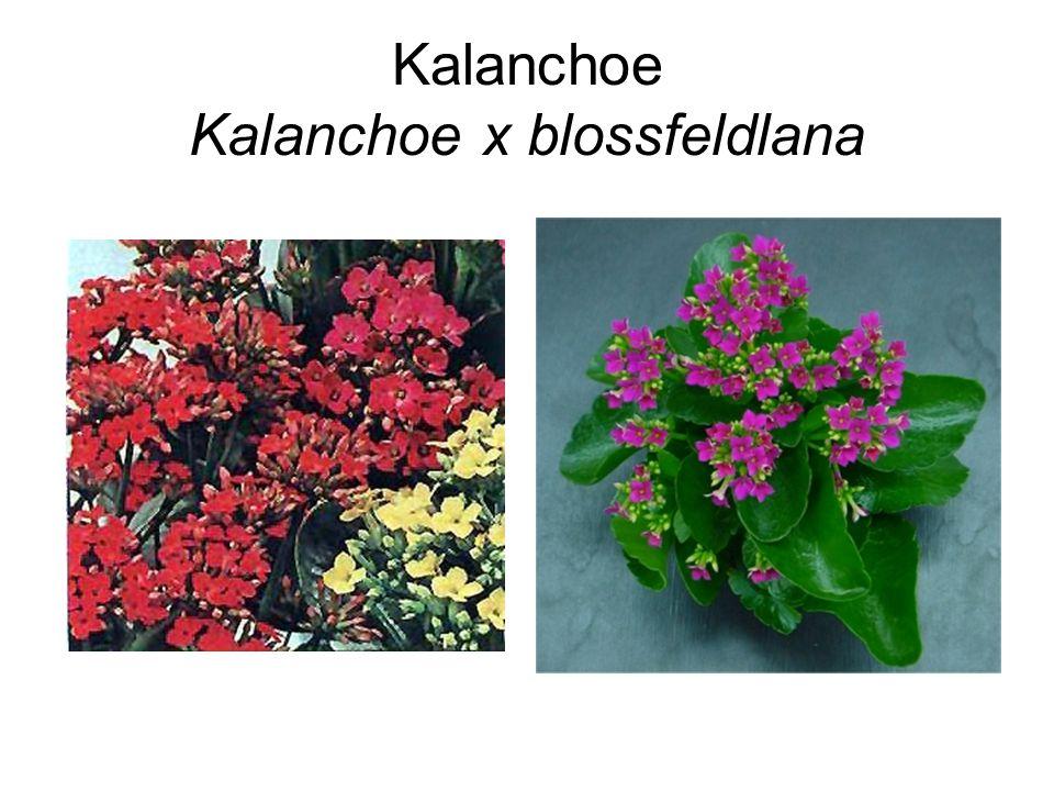 Kalanchoe Kalanchoe x blossfeldlana