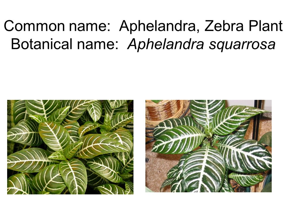 Common name: Aphelandra, Zebra Plant Botanical name: Aphelandra squarrosa