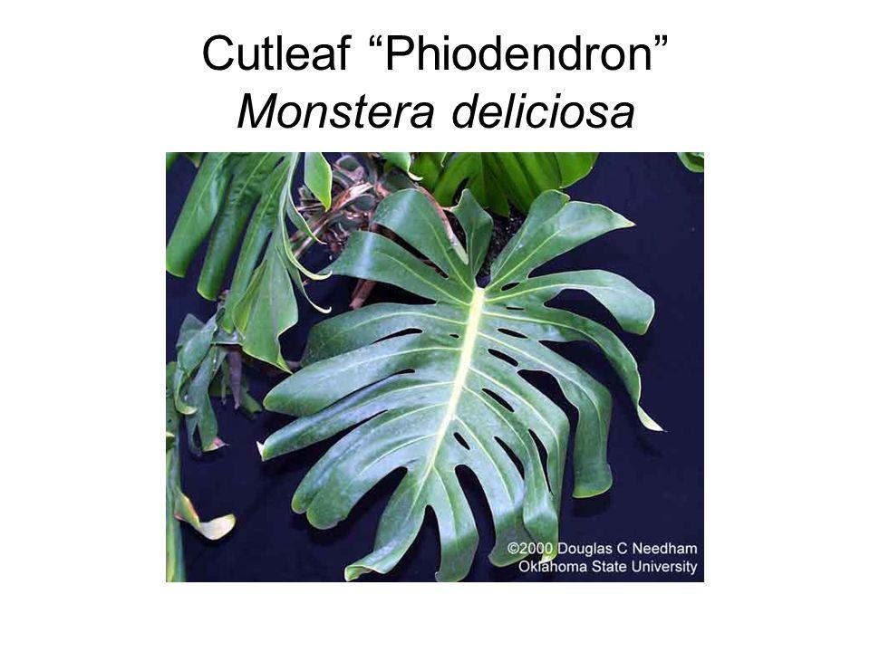 """Cutleaf """"Phiodendron"""" Monstera deliciosa"""