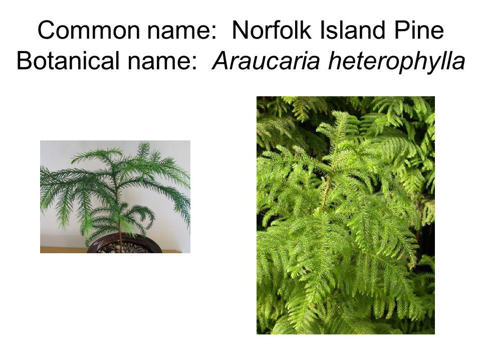 Common name: Norfolk Island Pine Botanical name: Araucaria heterophylla