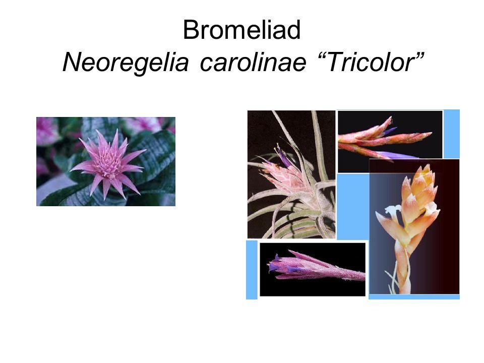 "Bromeliad Neoregelia carolinae ""Tricolor"""