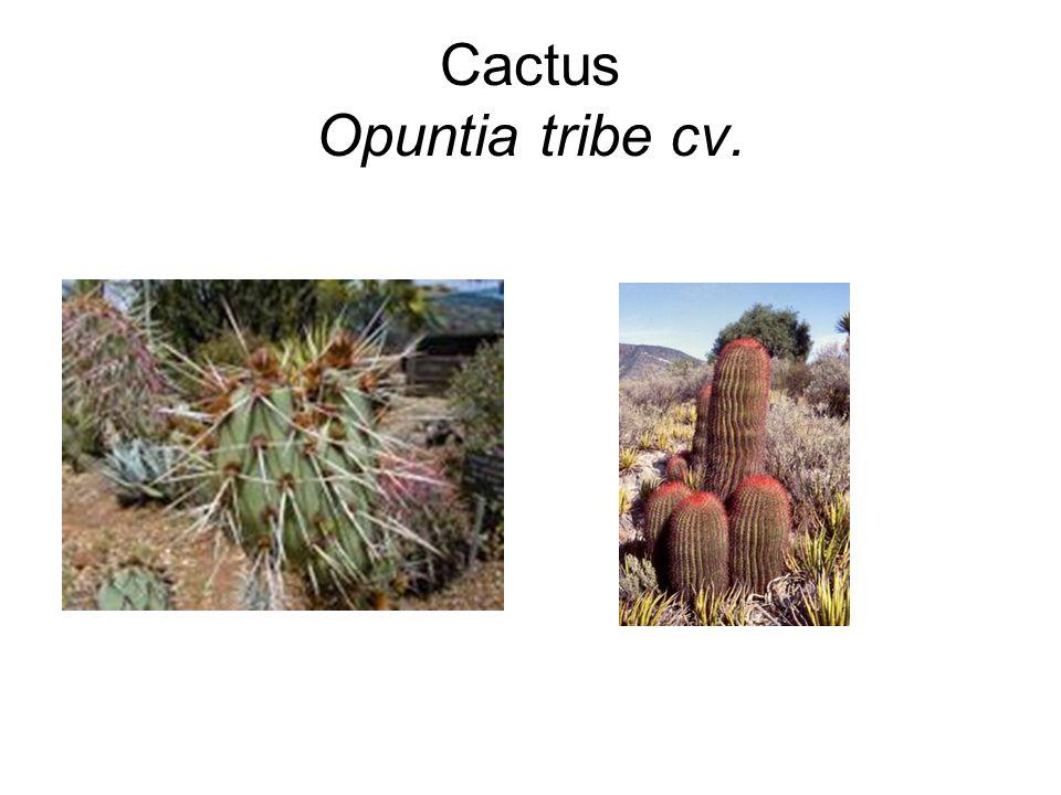 Cactus Opuntia tribe cv.