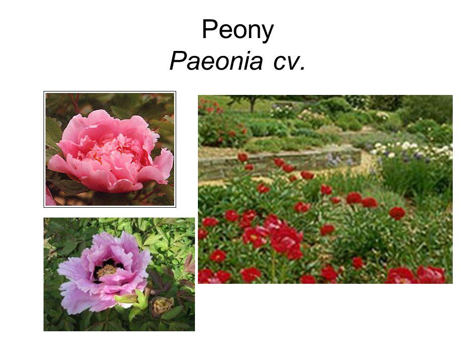 Peony Paeonia cv.