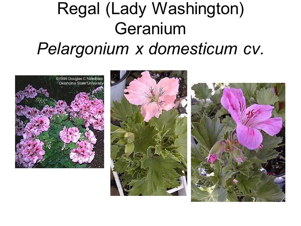 Regal (Lady Washington) Geranium Pelargonium x domesticum cv.
