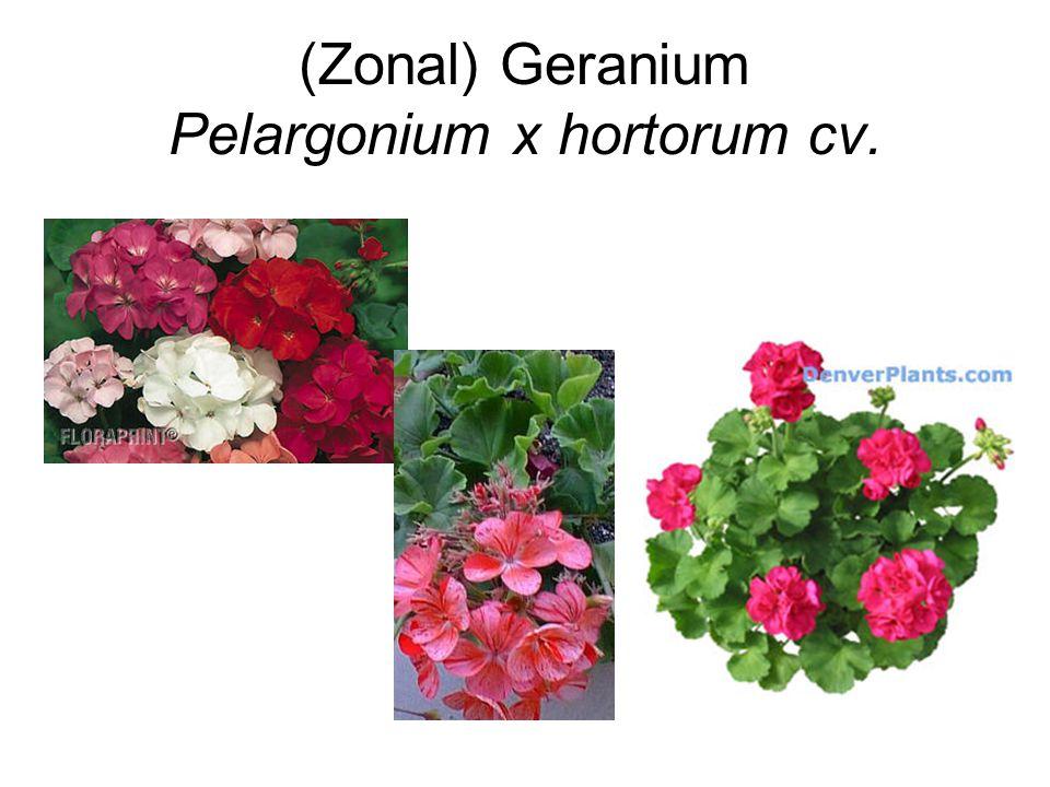 (Zonal) Geranium Pelargonium x hortorum cv.