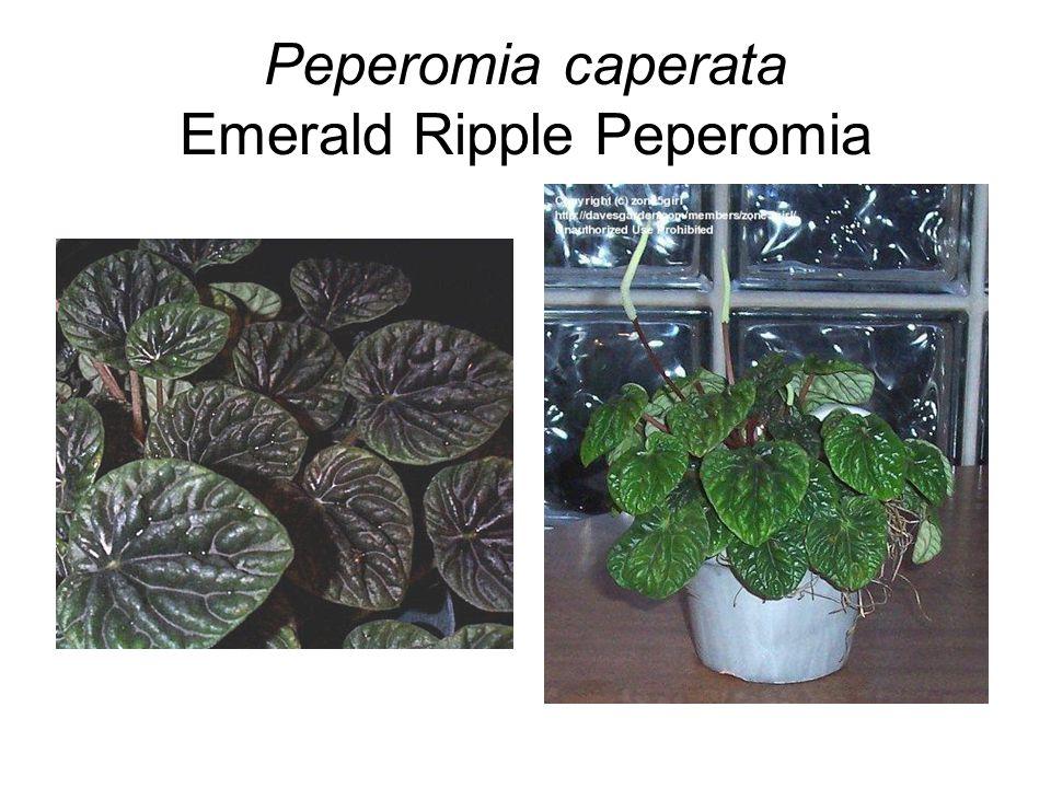 Peperomia caperata Emerald Ripple Peperomia