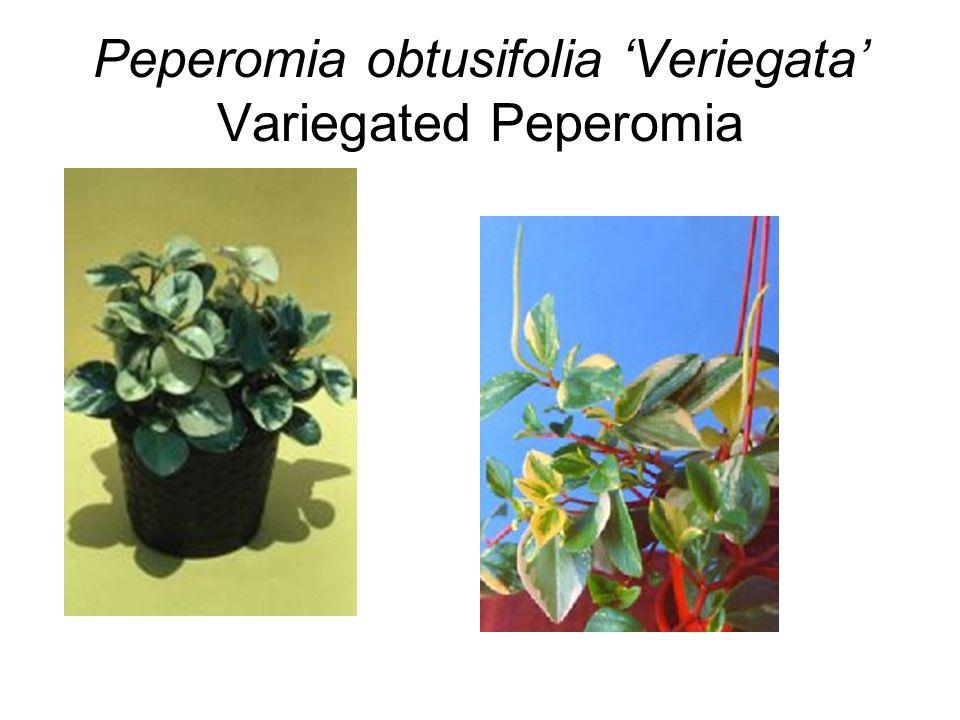 Peperomia obtusifolia 'Veriegata' Variegated Peperomia