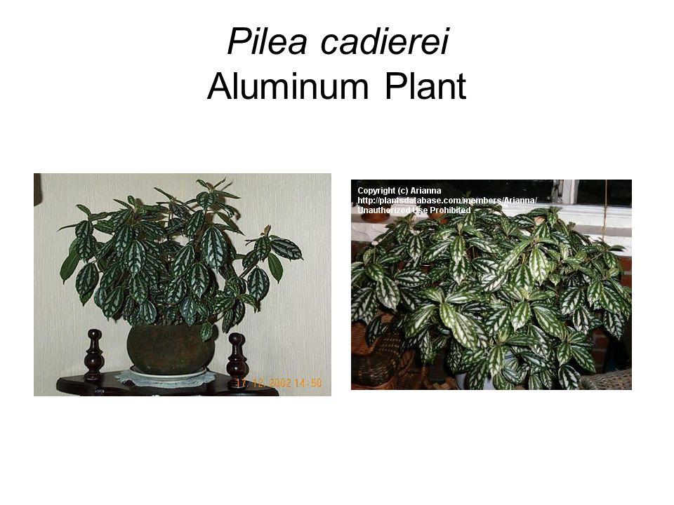 Pilea cadierei Aluminum Plant