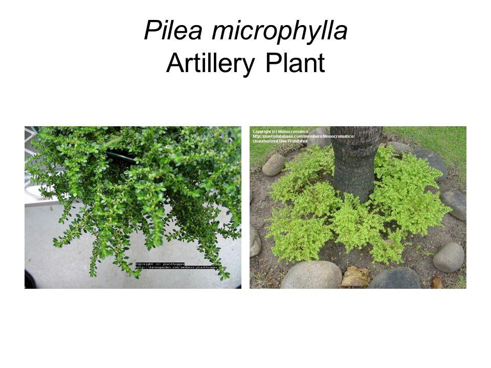 Pilea microphylla Artillery Plant