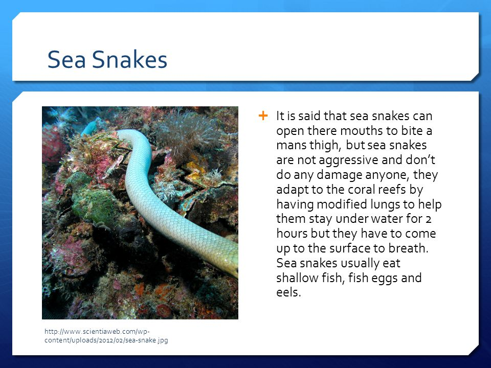 Sea Snakes  It is said that sea snakes can open there mouths to bite a mans thigh, but sea snakes are not aggressive and don't do any damage anyone,