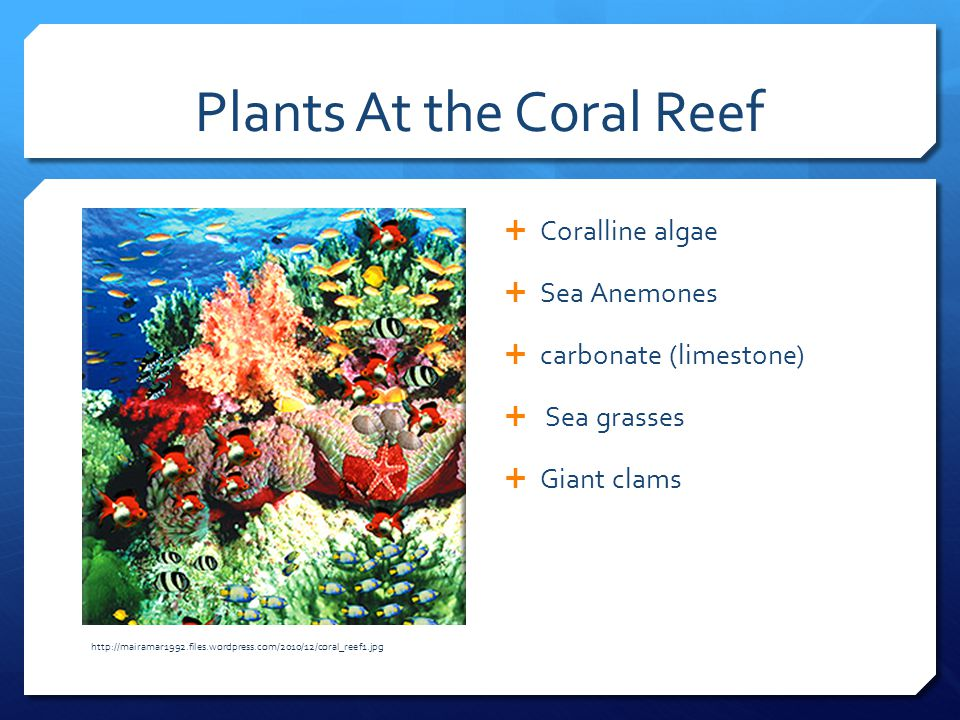 Plants At the Coral Reef  Coralline algae  Sea Anemones  carbonate (limestone)  Sea grasses  Giant clams http://mairamar1992.files.wordpress.com/2010/12/coral_reef1.jpg