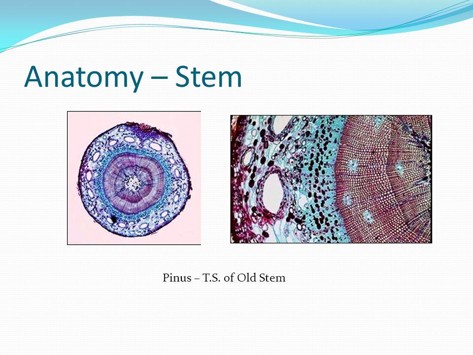 Anatomy – Stem Pinus – T.S. of Old Stem