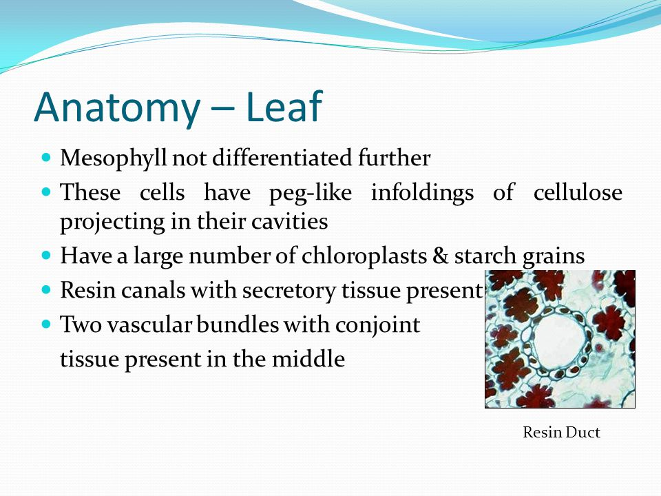 Anatomy – Leaf Mesophyll not differentiated further These cells have peg-like infoldings of cellulose projecting in their cavities Have a large number