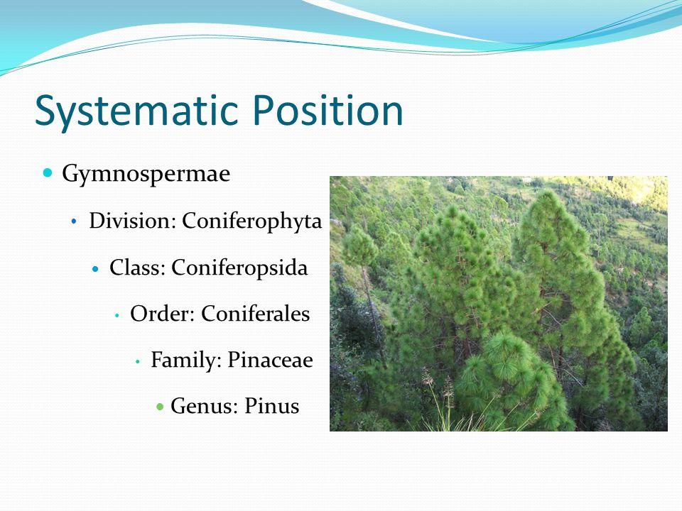 Systematic Position Gymnospermae Division: Coniferophyta Class: Coniferopsida Order: Coniferales Family: Pinaceae Genus: Pinus