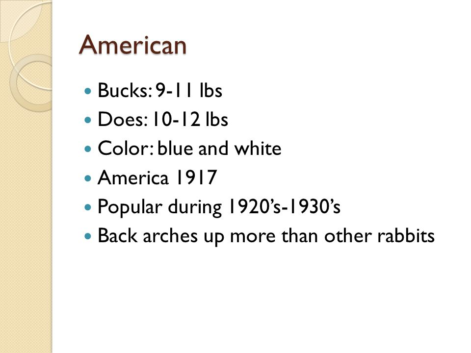 American Bucks: 9-11 lbs Does: 10-12 lbs Color: blue and white America 1917 Popular during 1920's-1930's Back arches up more than other rabbits