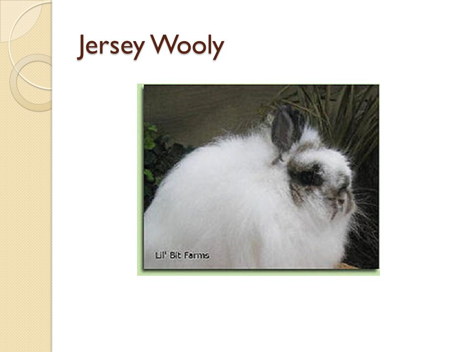 Jersey Wooly