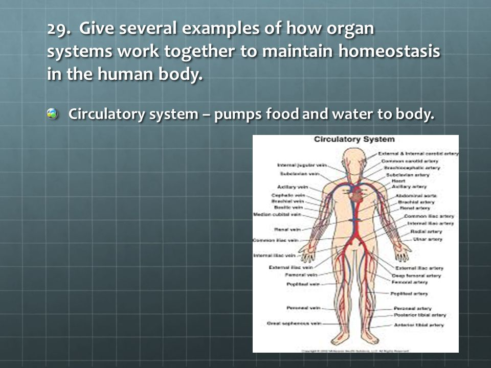 29. Give several examples of how organ systems work together to maintain homeostasis in the human body. Circulatory system – pumps food and water to b