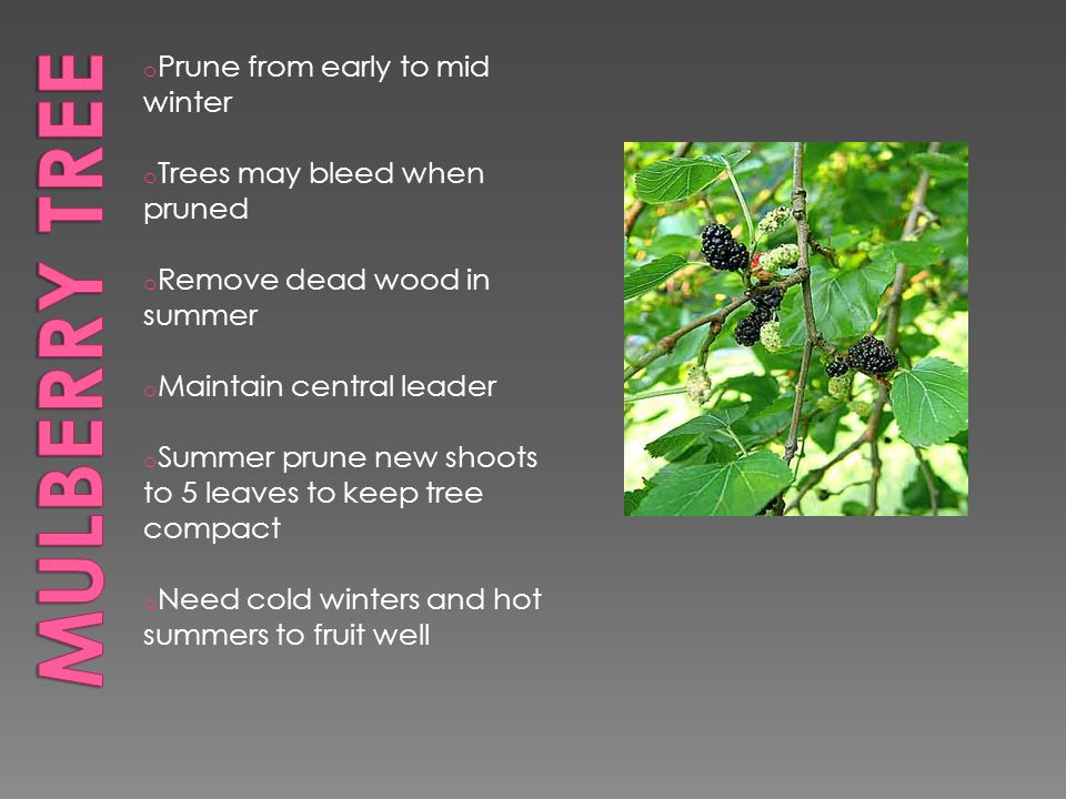 o Prune from early to mid winter o Trees may bleed when pruned o Remove dead wood in summer o Maintain central leader o Summer prune new shoots to 5 leaves to keep tree compact o Need cold winters and hot summers to fruit well