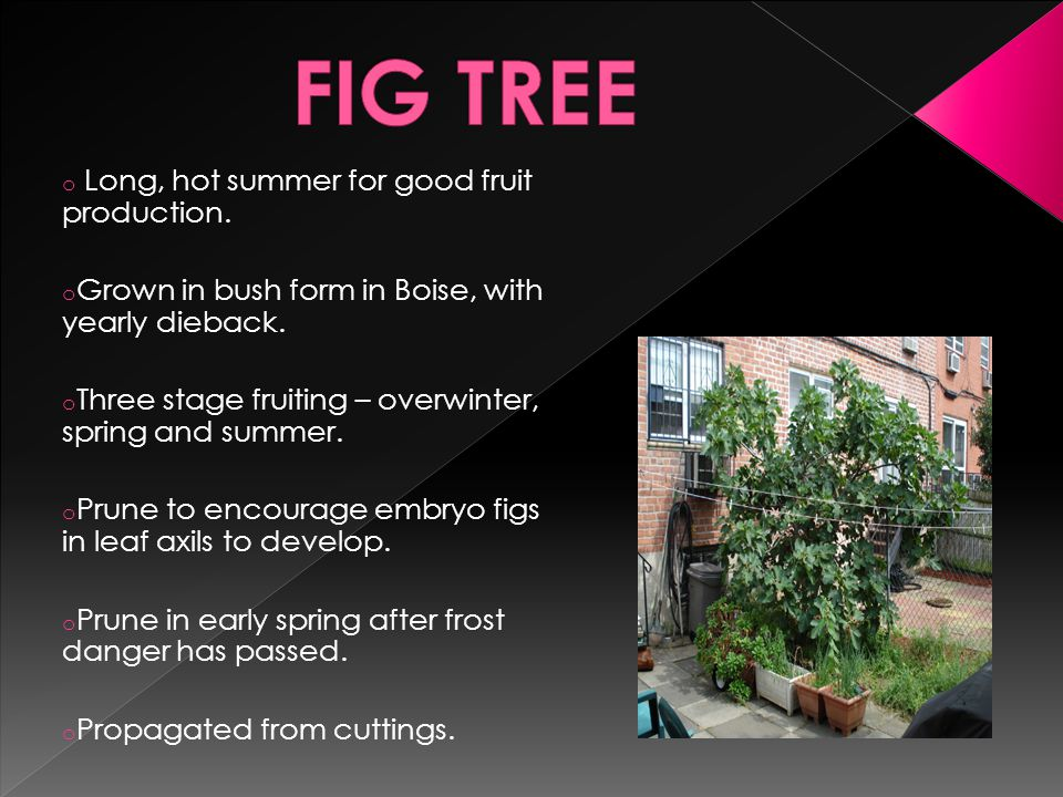 o Long, hot summer for good fruit production. o Grown in bush form in Boise, with yearly dieback.