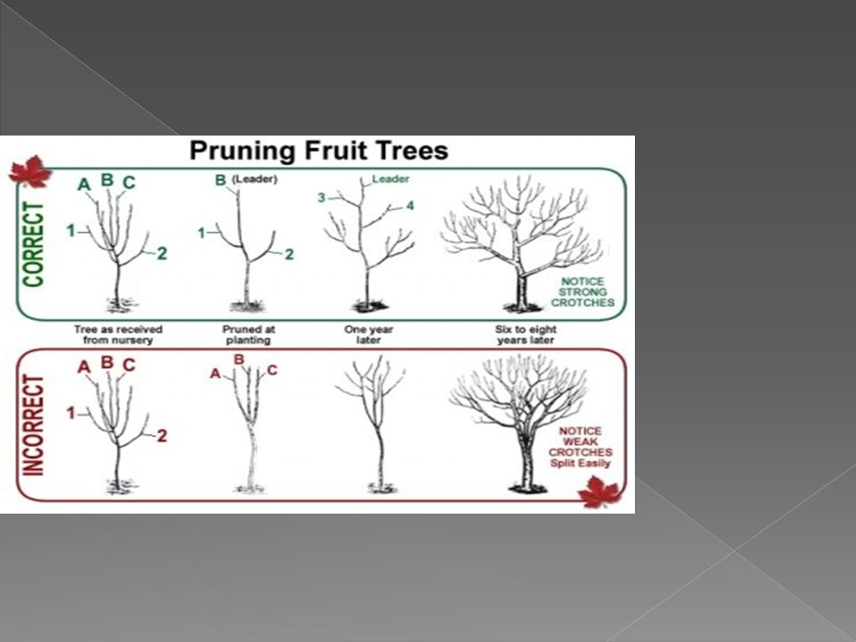  Easier to grow in colder climates. Fruits only on shoots from previous year.