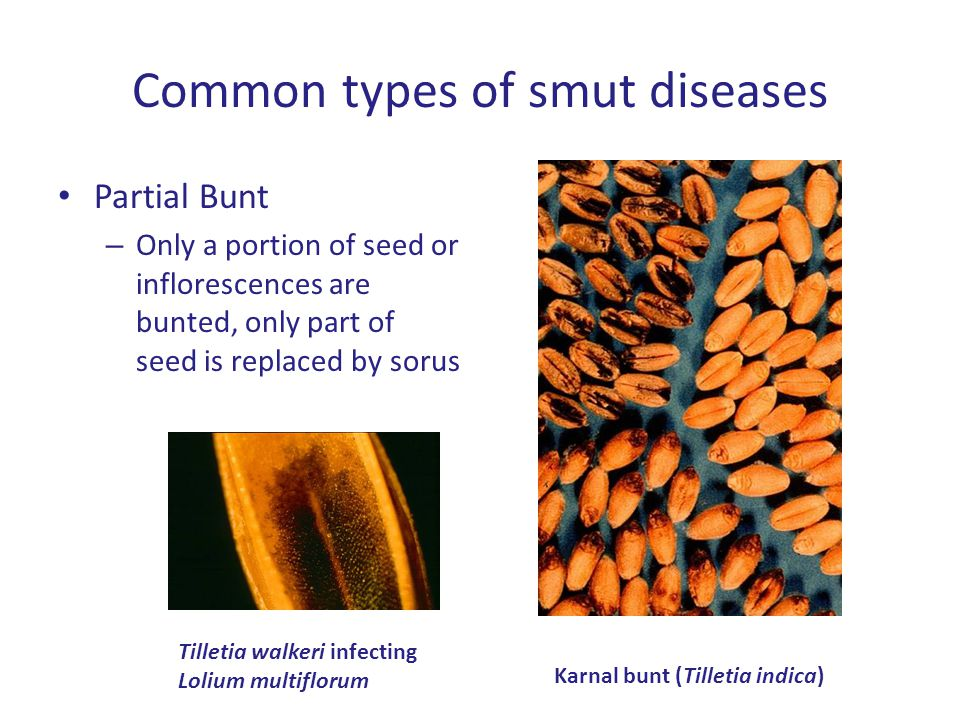 Common types of smut diseases Partial Bunt – Only a portion of seed or inflorescences are bunted, only part of seed is replaced by sorus Karnal bunt (Tilletia indica) Tilletia walkeri infecting Lolium multiflorum