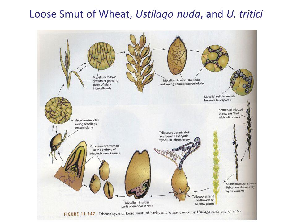 Loose Smut of Wheat, Ustilago nuda, and U. tritici