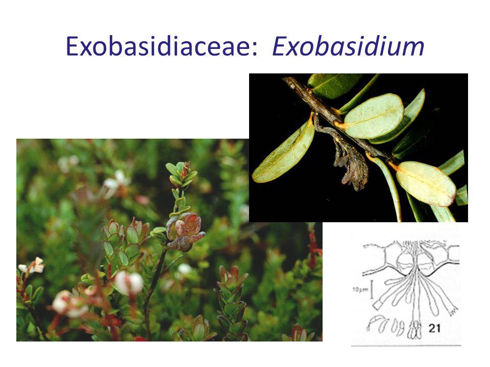 Exobasidiaceae: Exobasidium