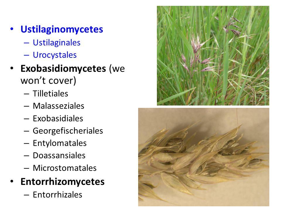 Ustilaginomycetes – Ustilaginales – Urocystales Exobasidiomycetes (we won't cover) – Tilletiales – Malasseziales – Exobasidiales – Georgefischeriales – Entylomatales – Doassansiales – Microstomatales Entorrhizomycetes – Entorrhizales