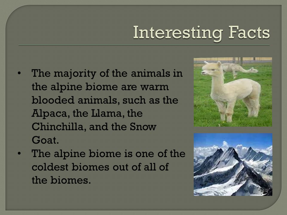 The majority of the animals in the alpine biome are warm blooded animals, such as the Alpaca, the Llama, the Chinchilla, and the Snow Goat.