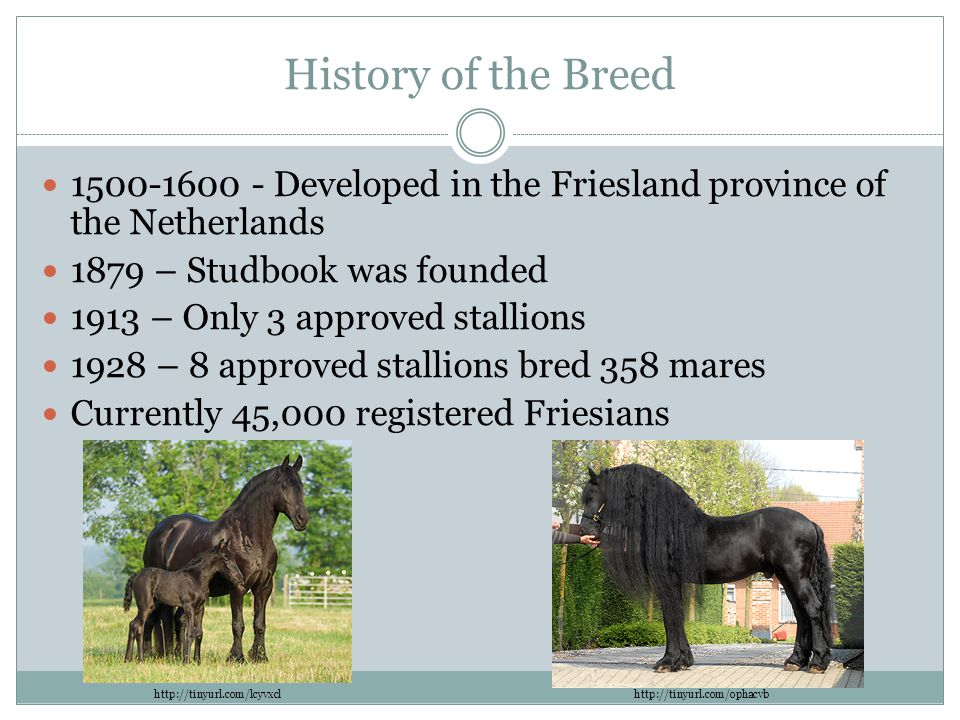 History of the Breed 1500-1600 - Developed in the Friesland province of the Netherlands 1879 – Studbook was founded 1913 – Only 3 approved stallions 1928 – 8 approved stallions bred 358 mares Currently 45,000 registered Friesians http://tinyurl.com/lcyvxclhttp://tinyurl.com/ophacvb