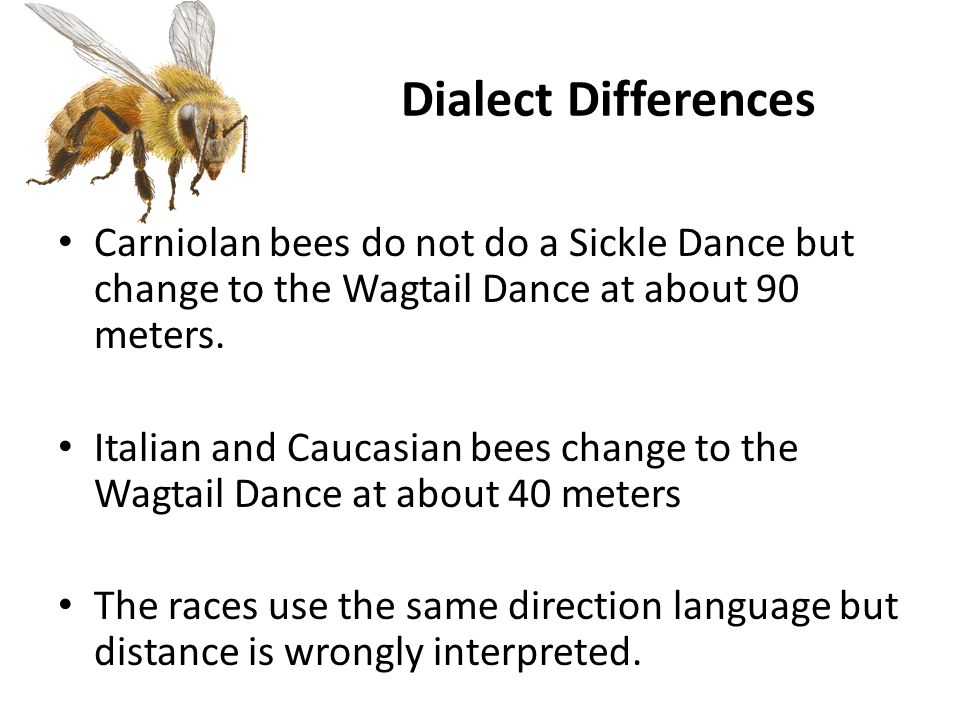Dialect Differences Carniolan bees do not do a Sickle Dance but change to the Wagtail Dance at about 90 meters.