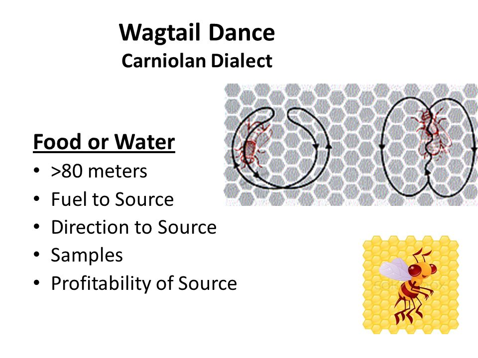 Von Frisch Arguments As food is shifted from 2 to 100 meters and from Round to Wagtail Dance the accuracy of finding food improved.