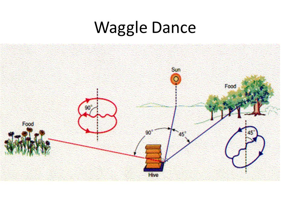 Wagtail Dance Carniolan Dialect (cont.) The energy (fuel) needed to reach the source is a function of the length of time a 250Hz sound is produced during the waggle.