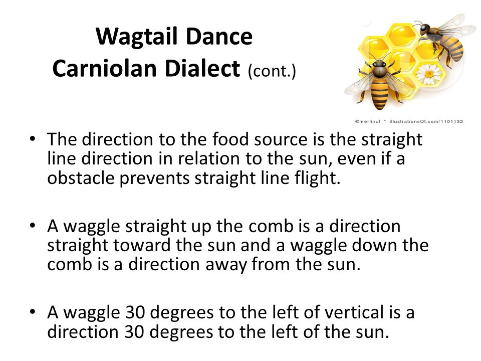 Wagtail Dance Carniolan Dialect (cont.) The direction to the food source is the straight line direction in relation to the sun, even if a obstacle prevents straight line flight.