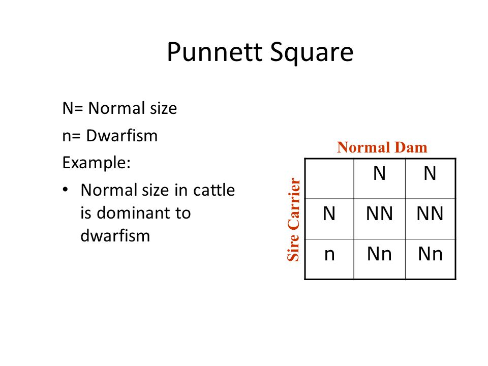 Punnett Square N= Normal size n= Dwarfism Example: Normal size in cattle is dominant to dwarfism NN NNN nNn Normal Dam Sire Carrier