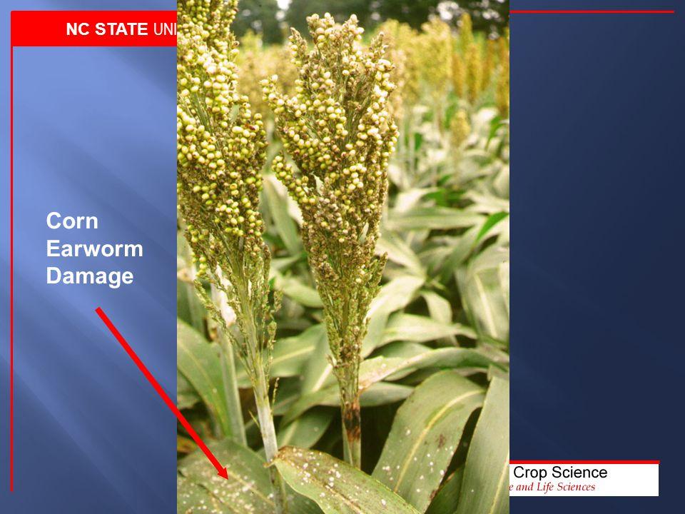 NC STATE UNIVERSITY Corn Earworm Damage