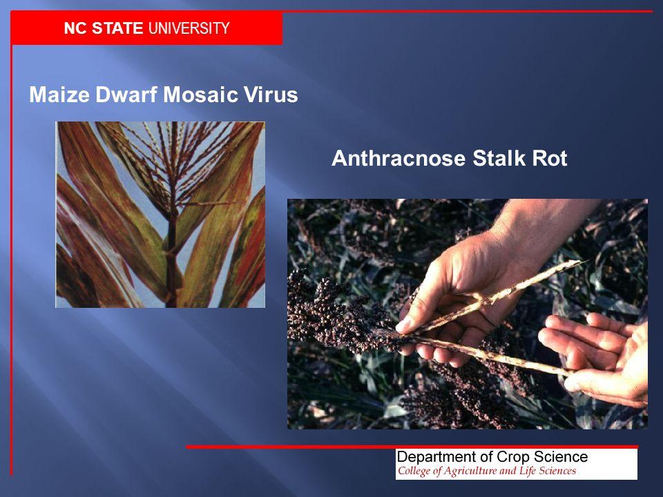 NC STATE UNIVERSITY Maize Dwarf Mosaic Virus Anthracnose Stalk Rot