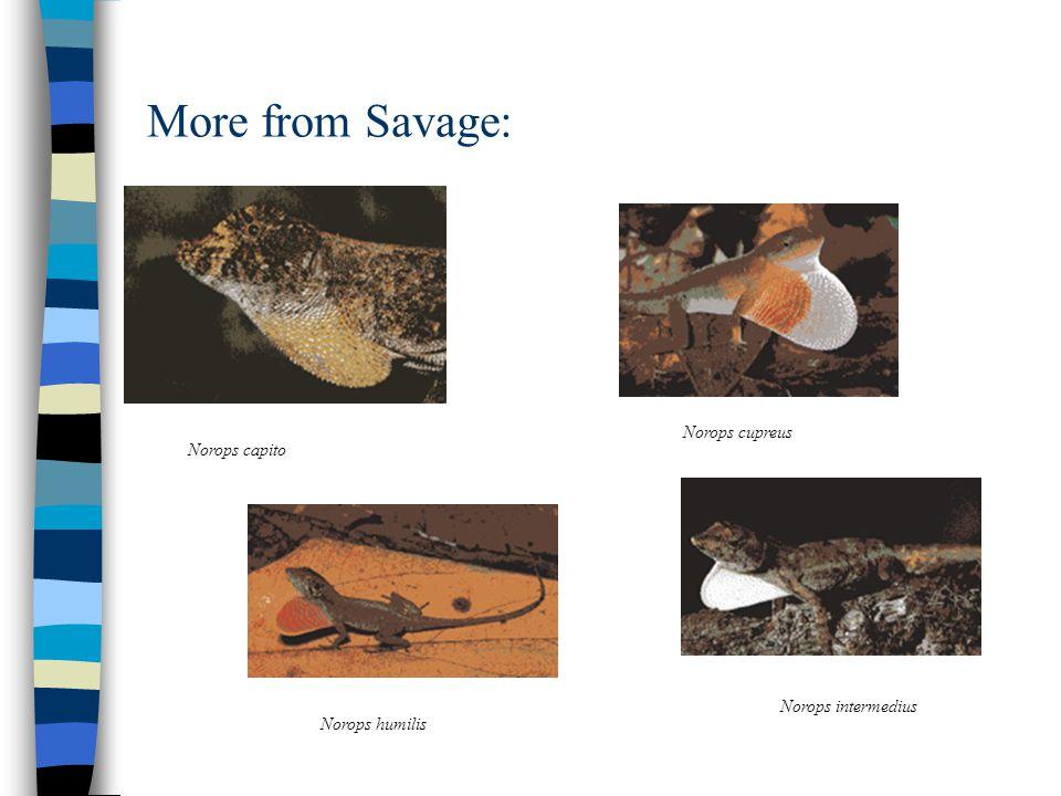 More from Savage: Norops capito Norops cupreus Norops humilis Norops intermedius