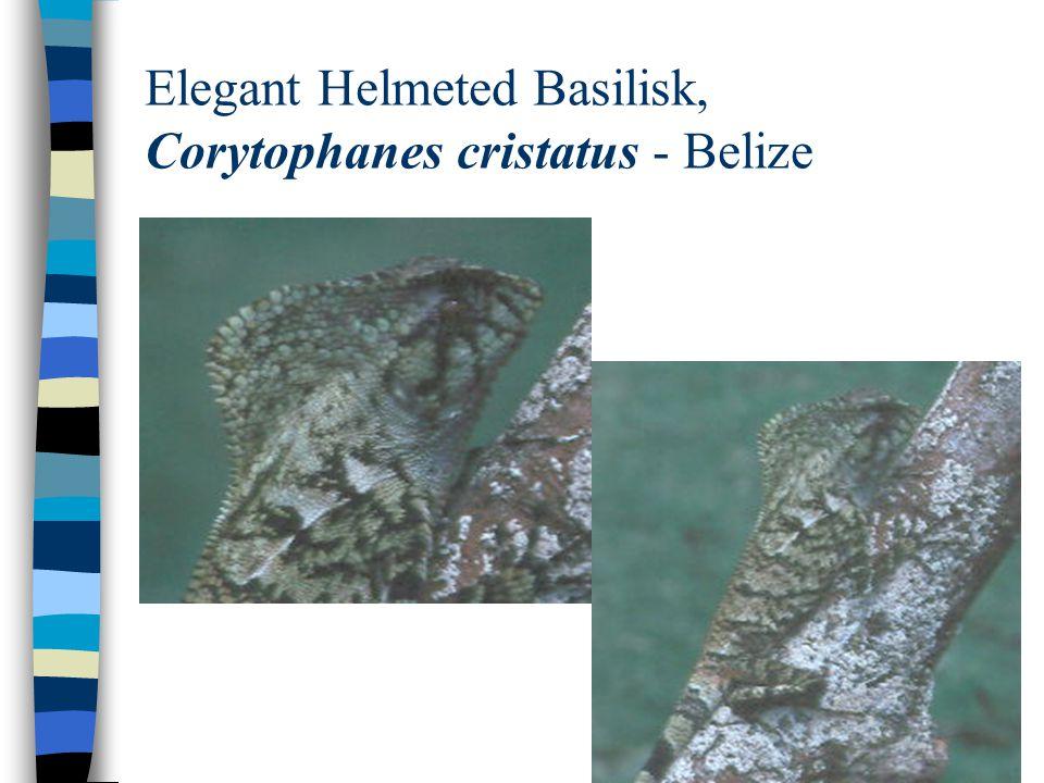 Elegant Helmeted Basilisk, Corytophanes cristatus - Belize