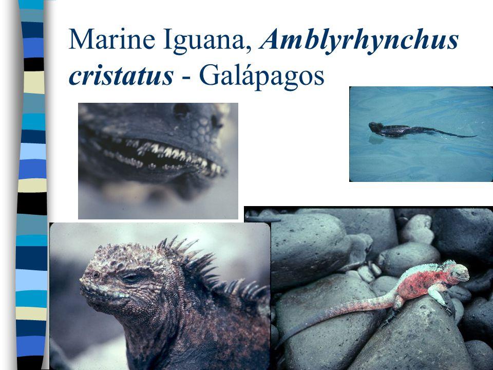 Marine Iguana, Amblyrhynchus cristatus - Galápagos